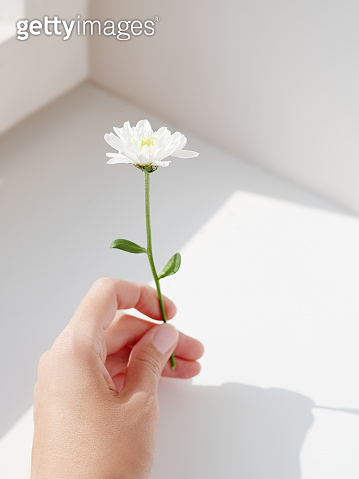Hand with chrysanthemum flower.  Woman is holding blooming flower on grey shadowed background.