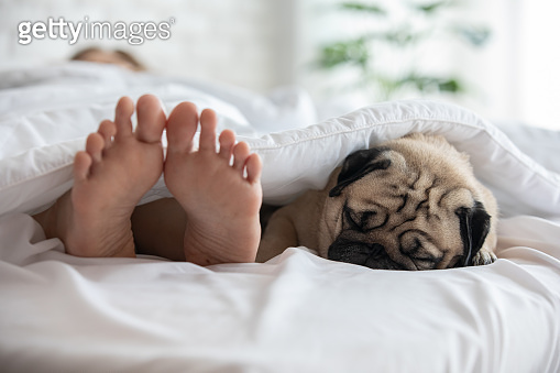 Cute pug dog breed lying on blanket on white bed in bedroom smile with funny face and feeling so happiness with owner in the morning,Dog sleep with owner,Healthy Purebred dog Concept
