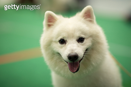 Cute dog Samoyed breed looking camera and smile with happiness feeling,Purebred Dog Concept