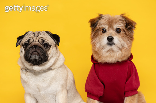 Happy two Dog smile on yellow background,Cute Puppy pug breed and mix breed happiness ready for summer
