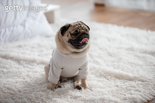 Happy dog pug breed smile and lying in bedroom feeling so comfortable and ralax,Healthy purebred dog