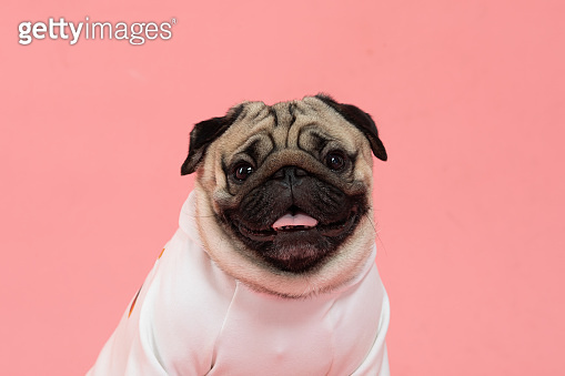 Happy Dog smile on pink background,Cute Puppy pug breed happiness on sweet color,Purebred Dog Concept