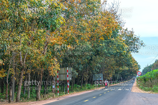Season rubber trees change  leaves on outskirts road with traffic background