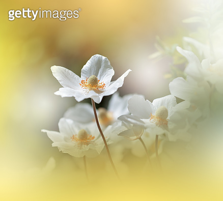 Beautiful Nature Background.Macro Shot of Amazing Spring Anemone Flowers.Art Design.Close up Photography.Conceptual Abstract Photo.Fantasy Floral Art.Creative Artistic Wallpaper.White Color.Colorful,colors,plant.Romantic,love.Beauty in Nature.Golden Color