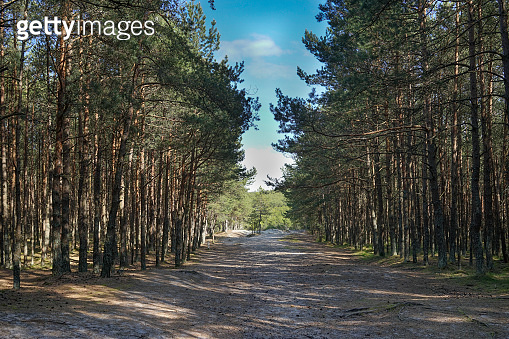Natural background with pine forest on a Sunny day