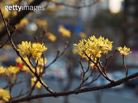 Korean Sansuyu flower, Cornus officinalis flower