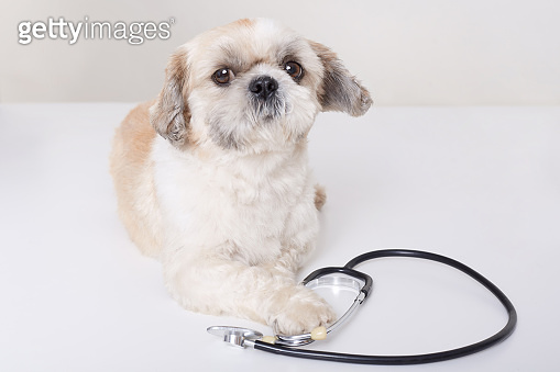 Funny veterinarian dog lying isolated over white background with stethoscope, looks art camera, vet purebred dog helps, pekingese in veterinary clinic.