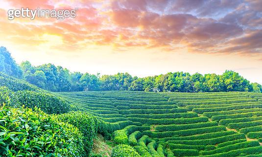 Green tea plantation in Hangzhou,China.