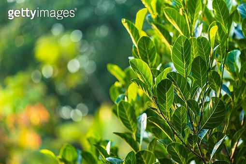 Green Jackfruit leaves bokeh blurred background.