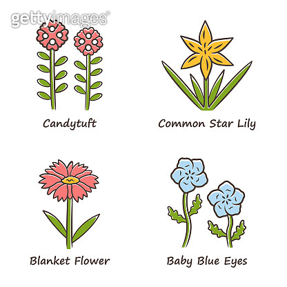 Wild flowers color icons set. Candytuft, common star lily, baby blue eyes, blanket flower. Blooming wildflowers, weed. Spring blossom. Field, meadow plants. Isolated vector illustrations