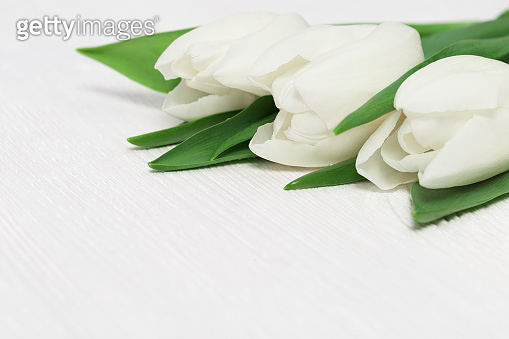 Beautiful tulips white colored on white wooden background with copy space. Gentle light spring postcard for holidays. Selective focus.