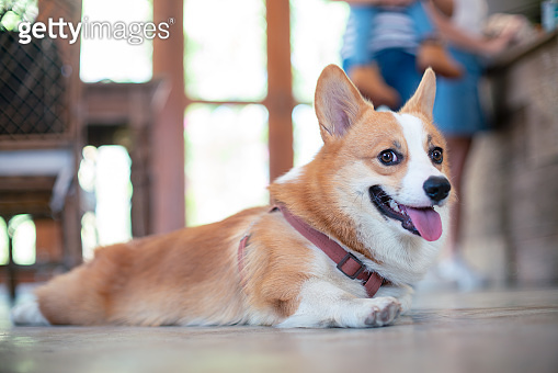 Pembroke Welsh Corgi puppy lying down on the floor