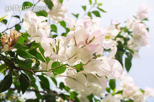 bougainvillea flowers and leaves with white background