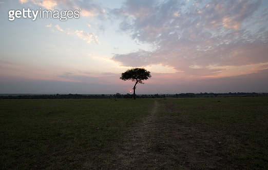 Acacia tree at sunset in Africa.