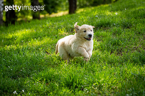 Puppies Golden Retriever breed with pedigree playing, running they roll in the grass in slow motion