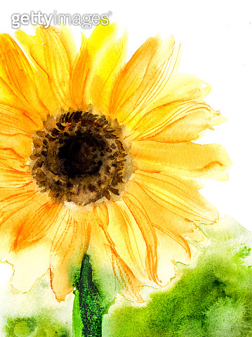 Hand drawn watercolor sunflower in yellow color