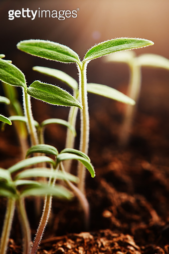 Group of back lit young plants growing from the soil