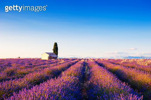 Small house in lavender fields at sunset in Provence, France.