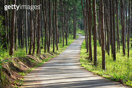 Beautiful Pathway along with nature pine trees
