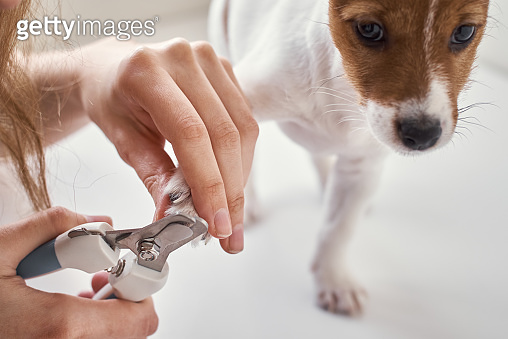 Owner cuts nails jack russel terrier puppy dog with a scissors