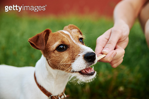 Cute puppy dog playing with a wooden stick. Owner plays with dog. Pet care