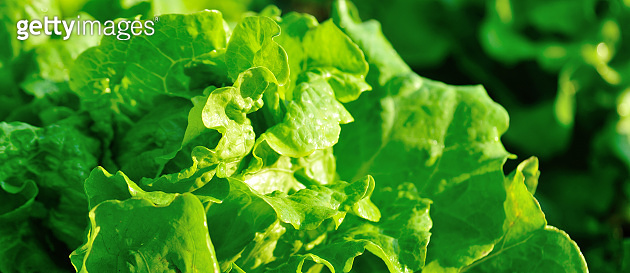 Green lettuce in growth at vegetable garden