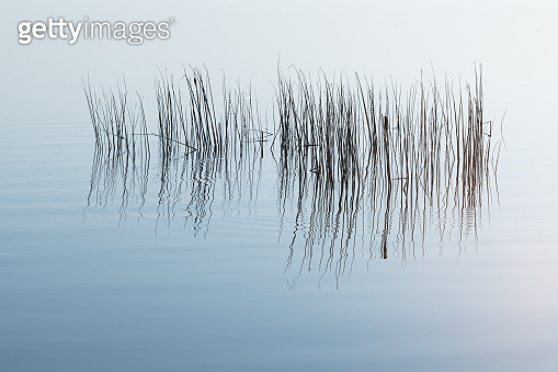 Reed growing out of water