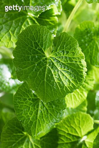 Fresh green wasabi plant