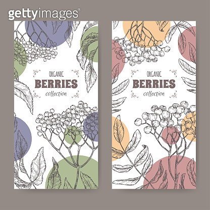 Set of two labels with Sambucus aka elderberry and Rowan aka Sorbus aucuparia branch sketch. Berry fruits series.