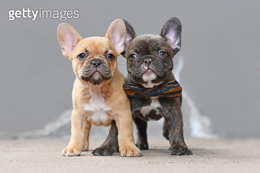 Pair of red fawn and chocolate brindle colored French Bulldog dog puppies standing in front of gray wall