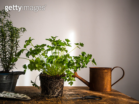 Gardening with fresh kitchen herbs indoors on a rustic wooden table.