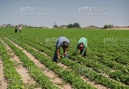 Workers working in the farm near Adana, Turkey