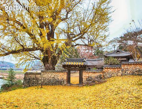 Aerial View of Golden Ginkgo Tree in Korean Traditional House, milyang, Korea