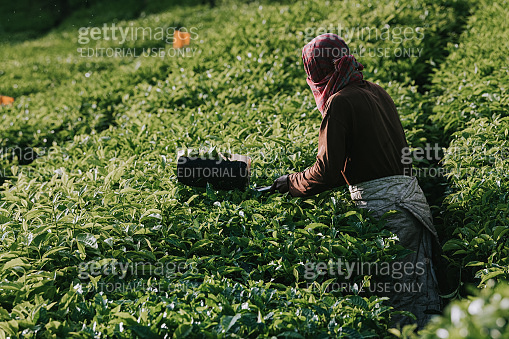 tea crop plantation manual worker harvesting by picking the tea leave in the morning using working tool in the teh plantation field itself collecting the fresh tea leaves for processing with hat