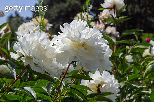 Blooming white peonies in rays of bright sun.
