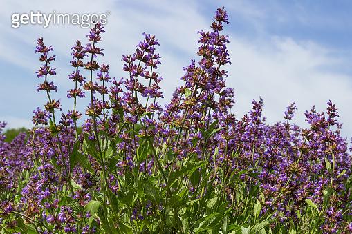 Blooming purple lavender. herb background