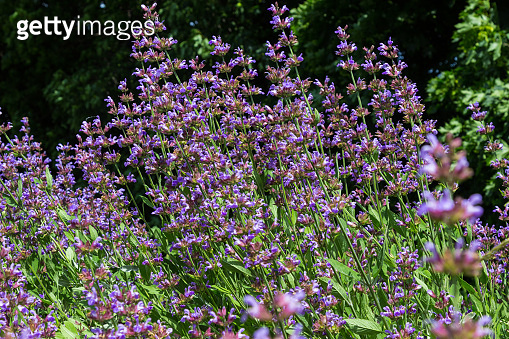 Blooming purple lavender. herb background
