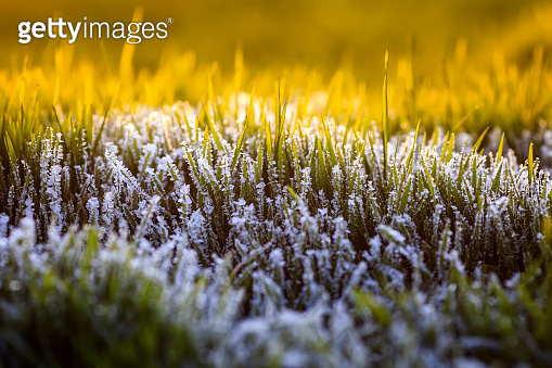 white shiny frost crystals cover the green juicy grass in autumn Sunny cold morning on the field