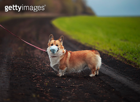 sad red Corgi puppy walking on the street in a medical mask for safety from the epidemic