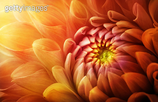 Colorful flower chrysanthemum macro shot. Chrysanthemum yellow, red, orange color flower background.