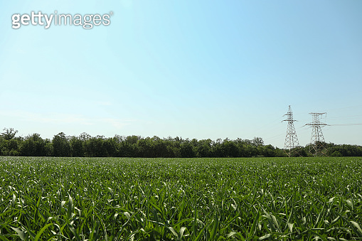 Corn field. Beautiful sunny day. Farming. Agriculture business