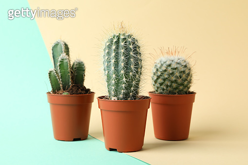 Cacti in pots on two tone background. House plants