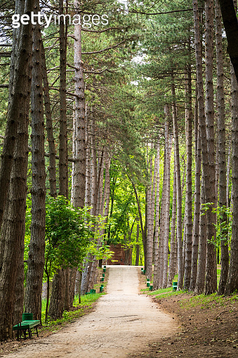 an asphalt path through pine trees