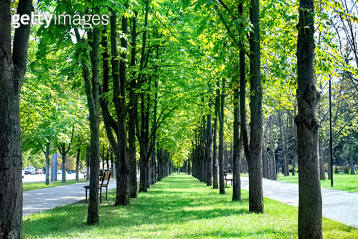 Rows of trees on the street in Chisinau, Moldova
