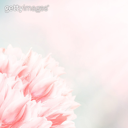Spring flowers, pink background. Blossom tulips on blue and pink background.