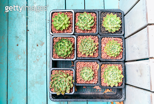 Miniature succulent plants
