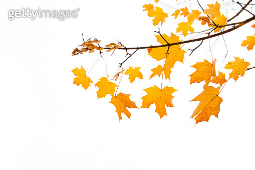 Branch of Autumn leaves maple tree