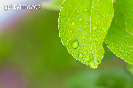 Beautiful water drop on leaf at nature close-up macro. Fresh juicy green leaf in droplets of morning dew outdoors.