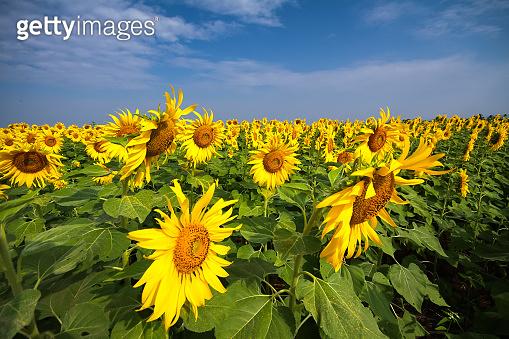 Sunflowers are in full bloom in Lop Buri