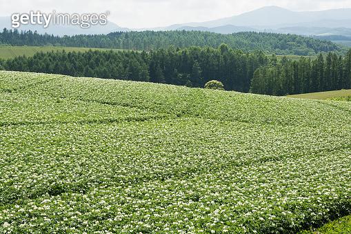 Flowered potato field